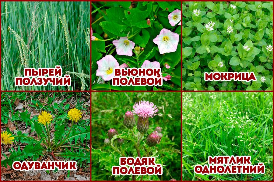 Виды сорняков